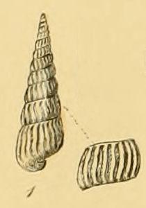 <i>Turbonilla lactea</i> species of mollusc