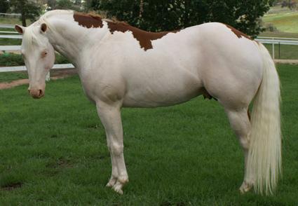 File:Chestnut Splashed White 1.jpg - Wikimedia Commons  Splashed White Horse