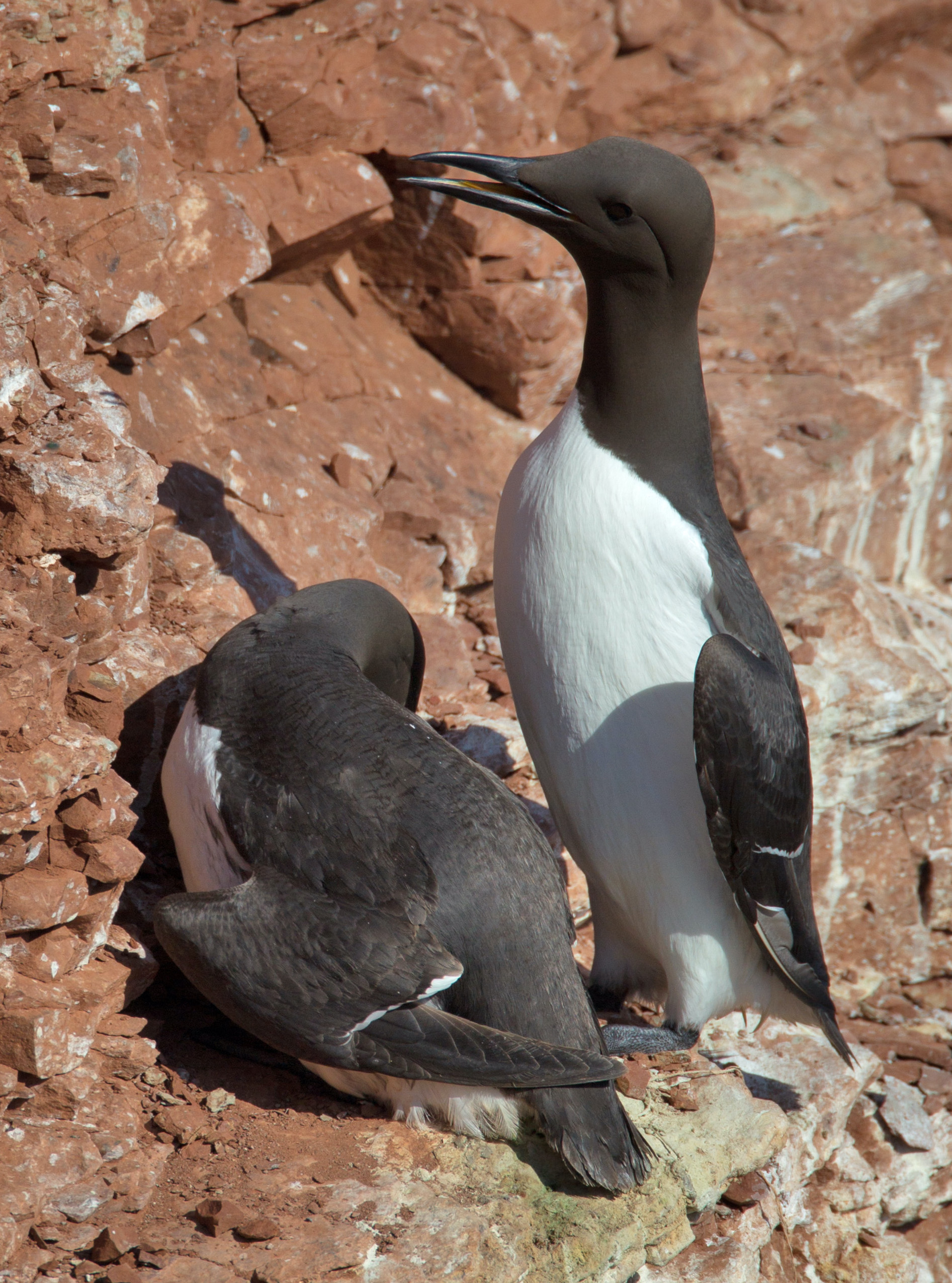 Hunting Common Murre in iceland