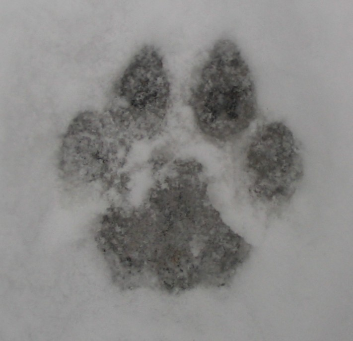cougar 64