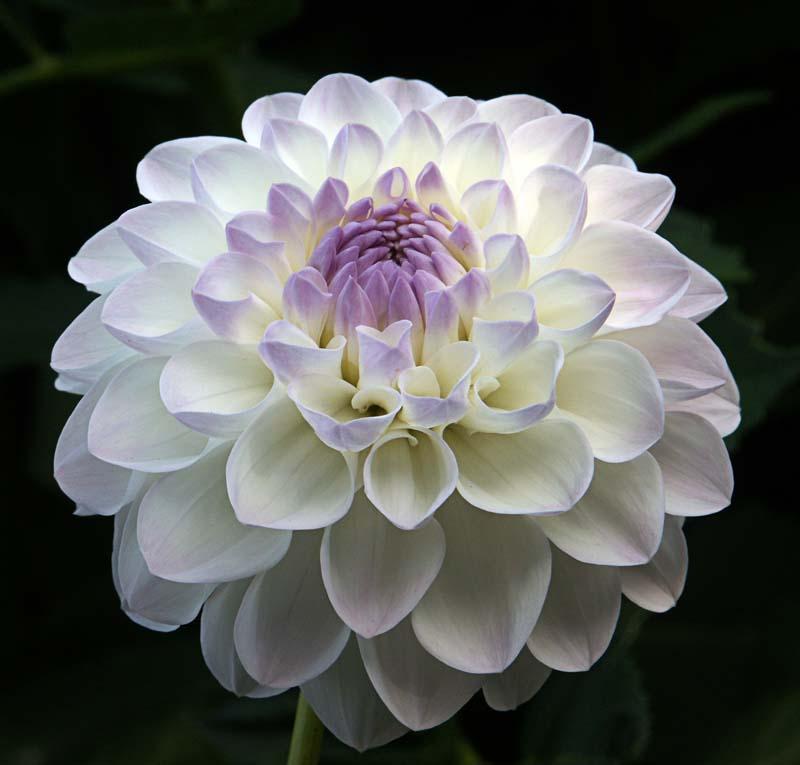 "Description Dahlia - ""Eveline"" cultivar.jpg"