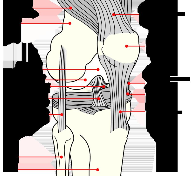 L'articulation du genou: description et rapports - ATmedecine - medtizi.123.fr