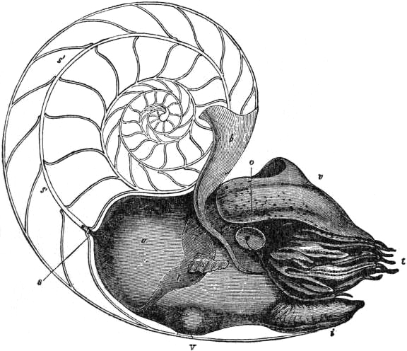 EB1911 Cephalopoda Fig. 1.— Lateral view of the female Pearly Nautilus.jpg