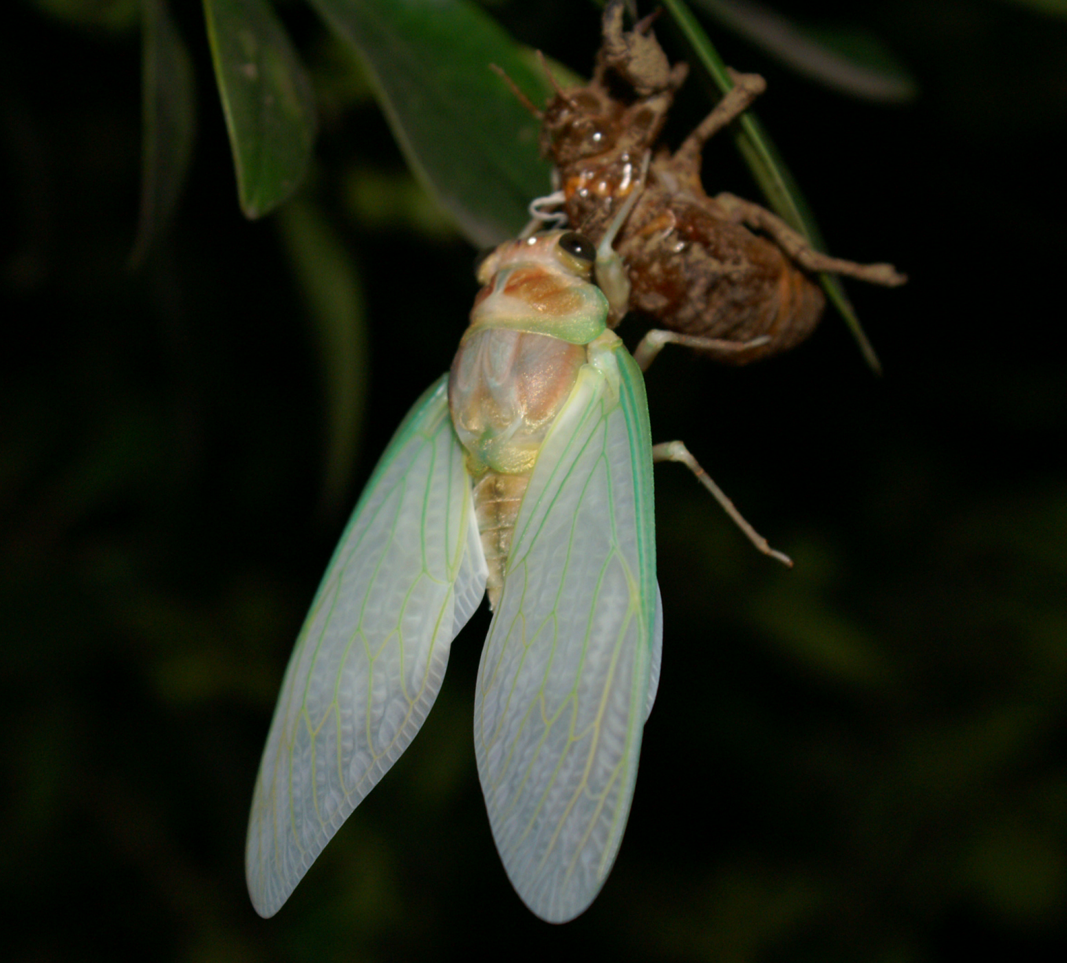the cicada continuously sheds its skin