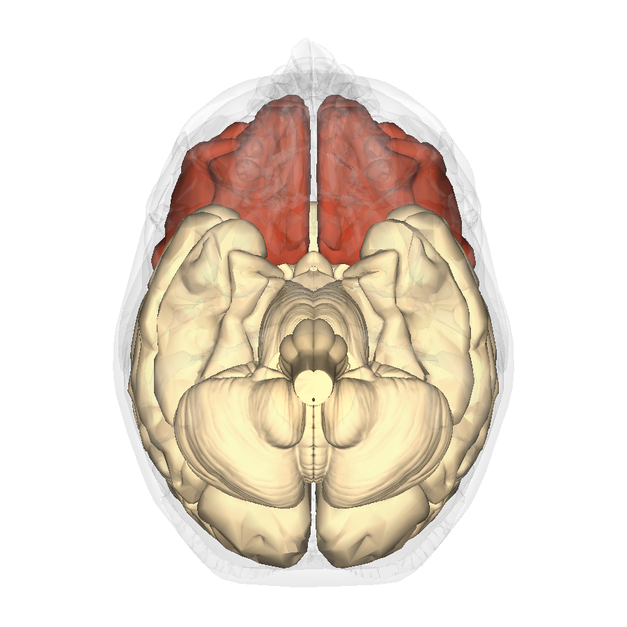 File:Frontal lobe - inferior view.png - Wikimedia Commons