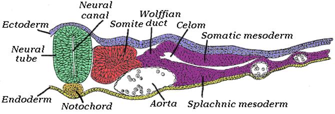 Notochord - Wikipedia