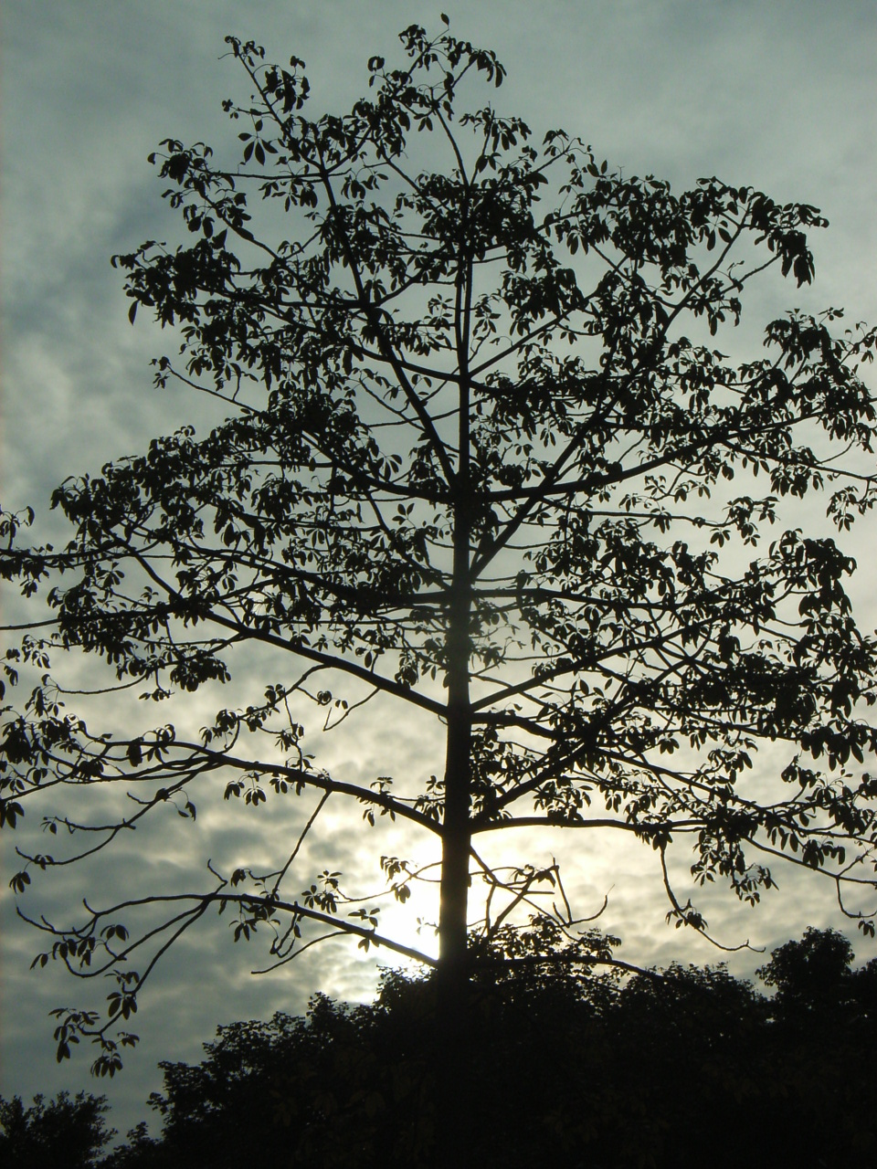 Crowning of trees: the purpose, types and methods