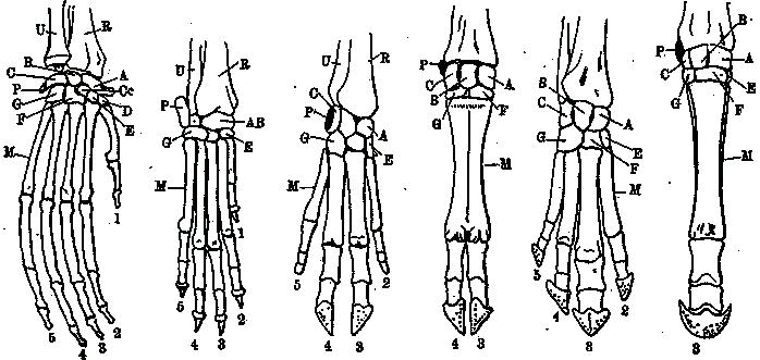Paarhufer – Wikipedia