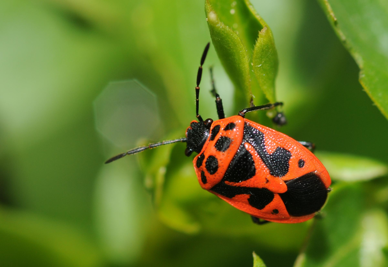 File Hemiptera Sp 1 Jpg Wikimedia Commons