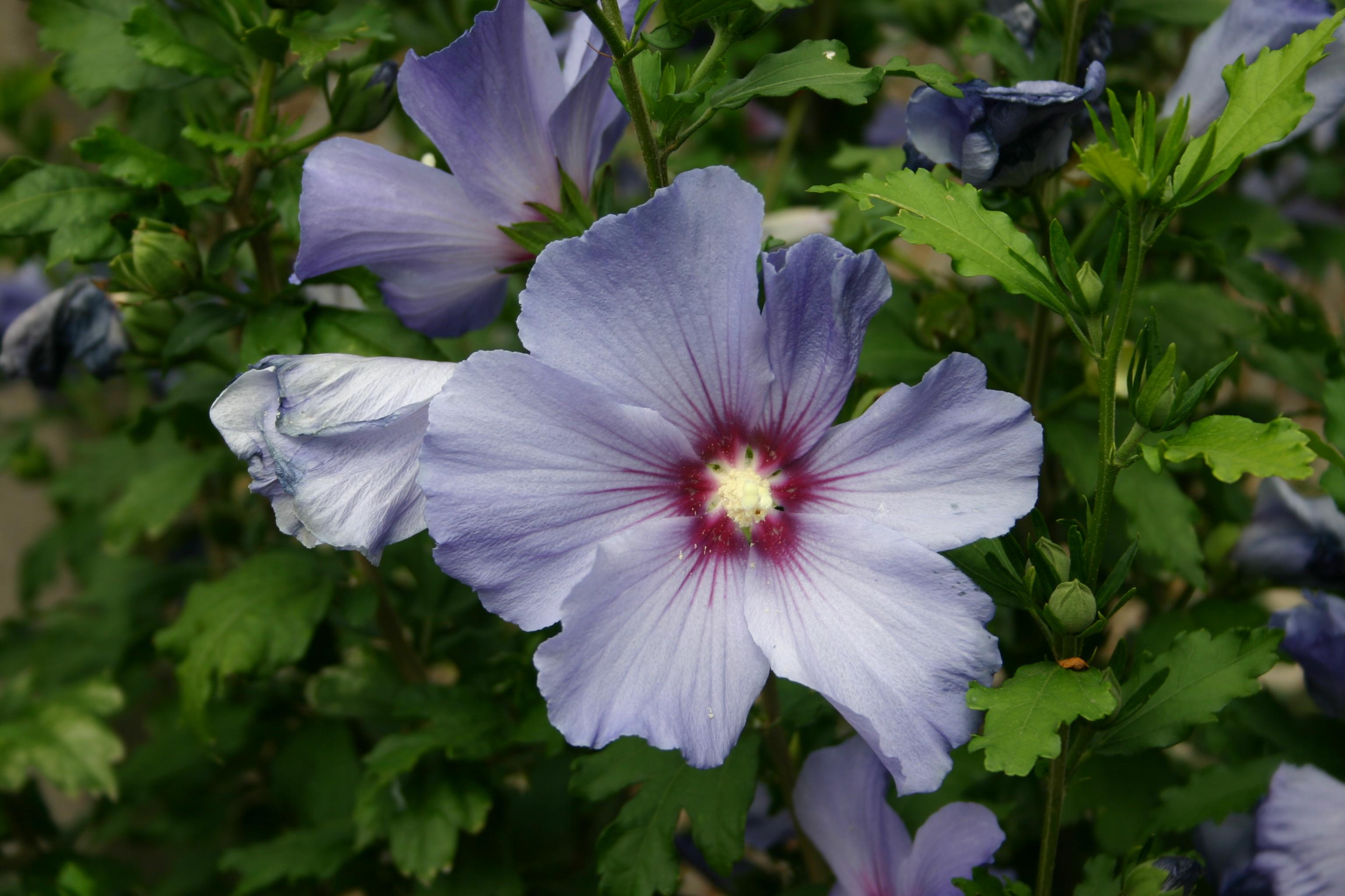 Fichier hibiscus bleu wikip dia - Taille de l hibiscus ...