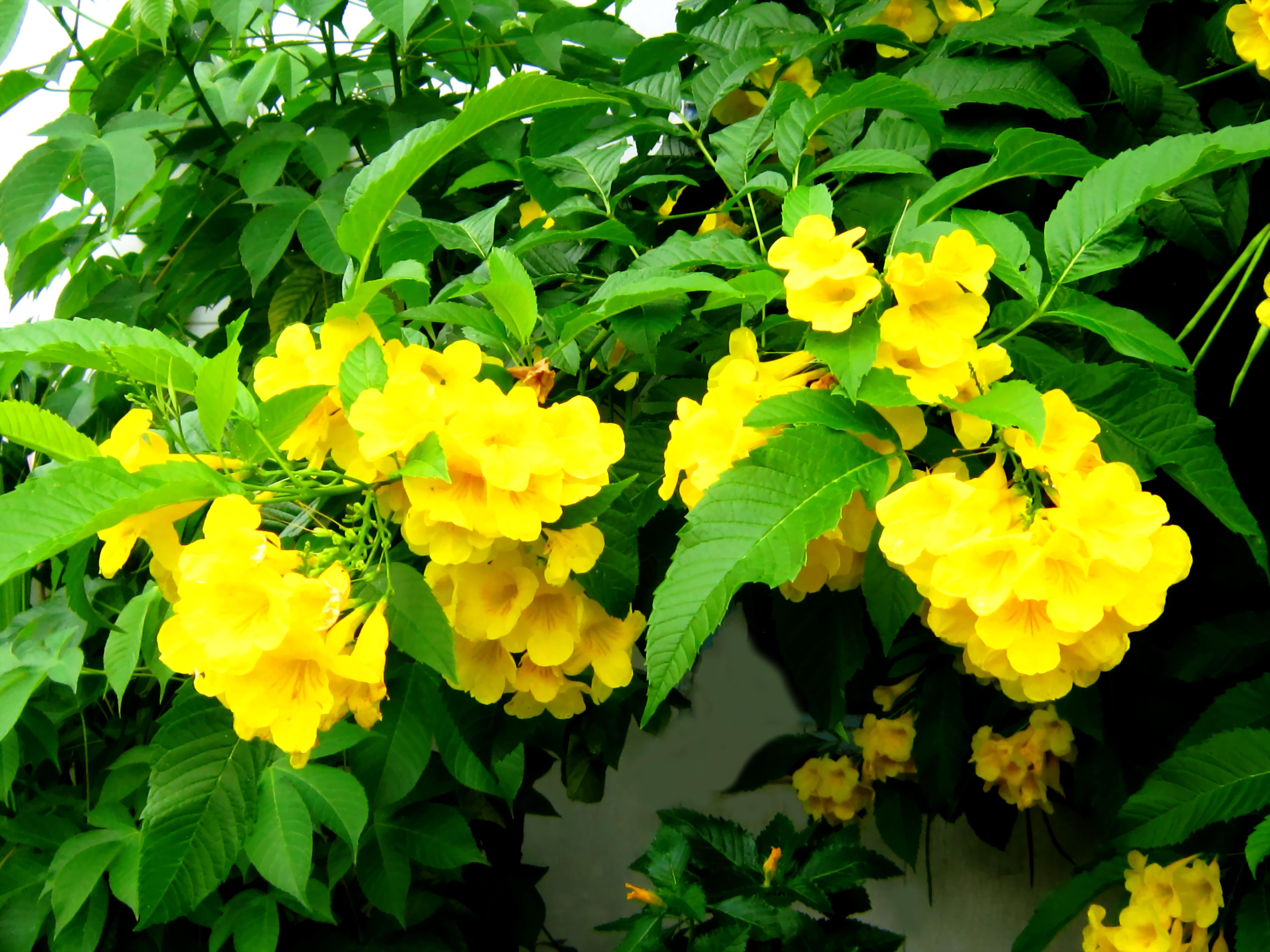 File:Hoa và lá cây chuông vàng.jpg - Wikimedia Commons