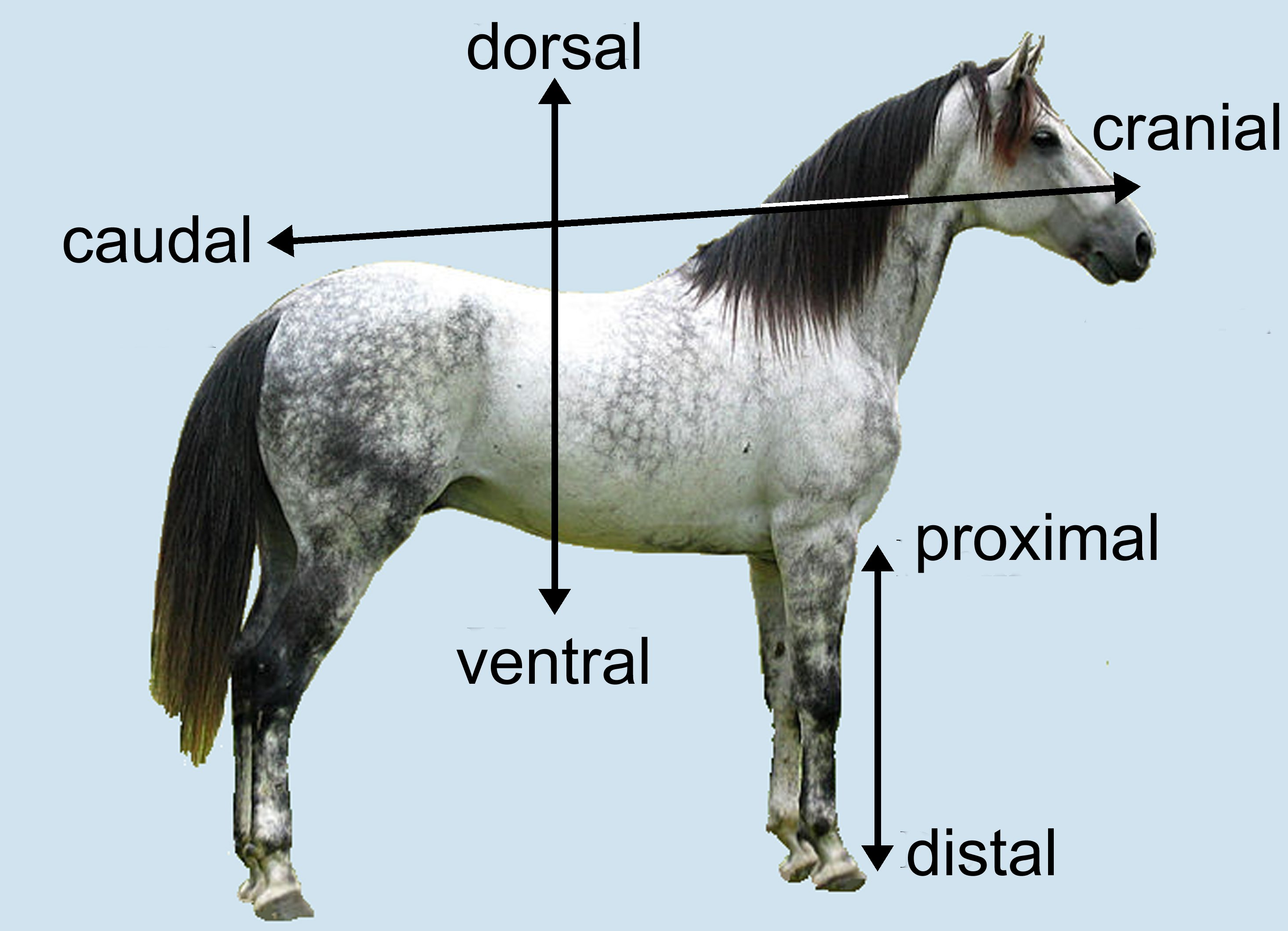 """Direction of horse in biology"""