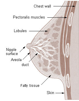 Illu breast anatomy