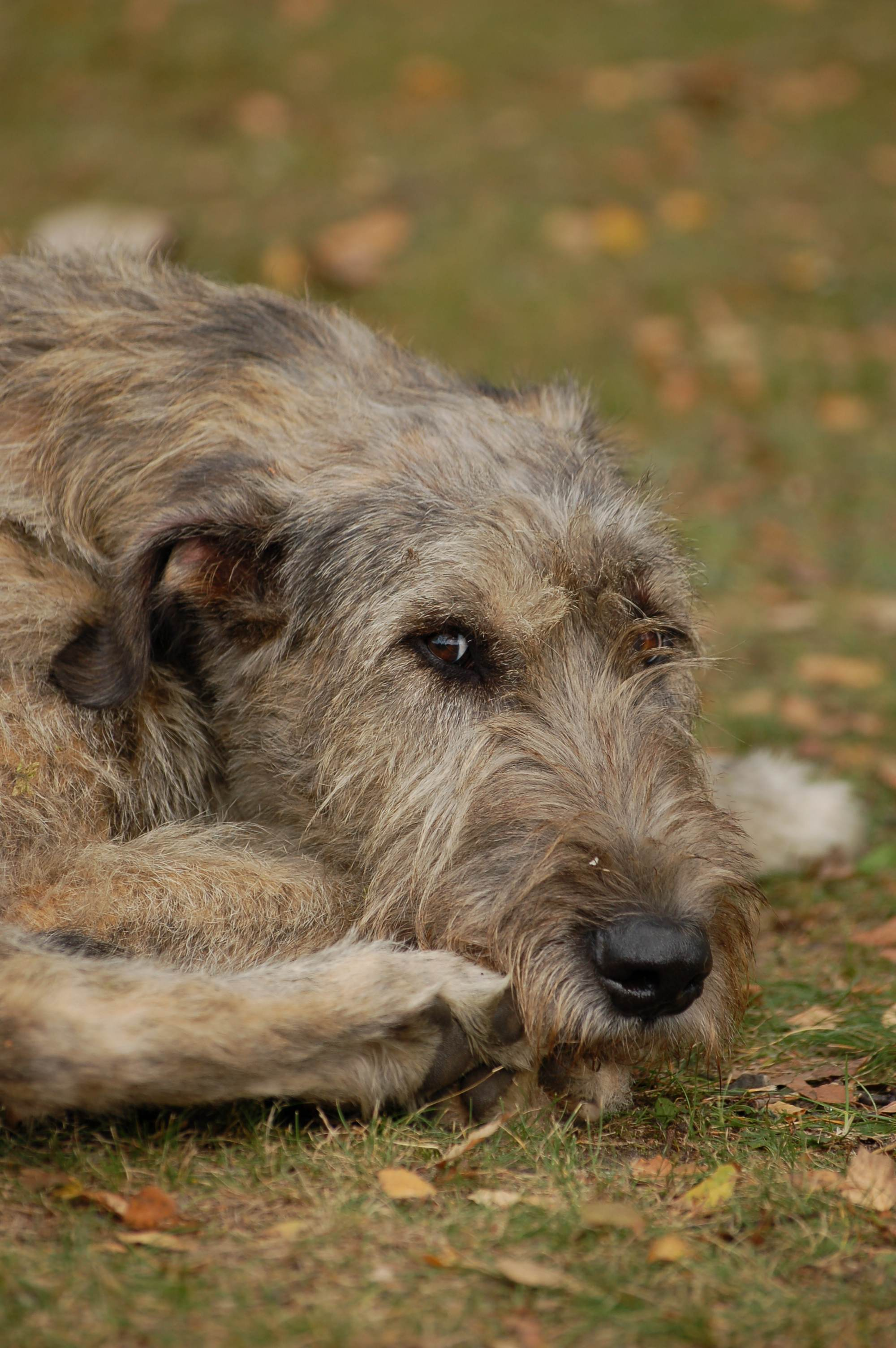 File:Irish Wolfhound 06.JPG - Wikimedia Commons