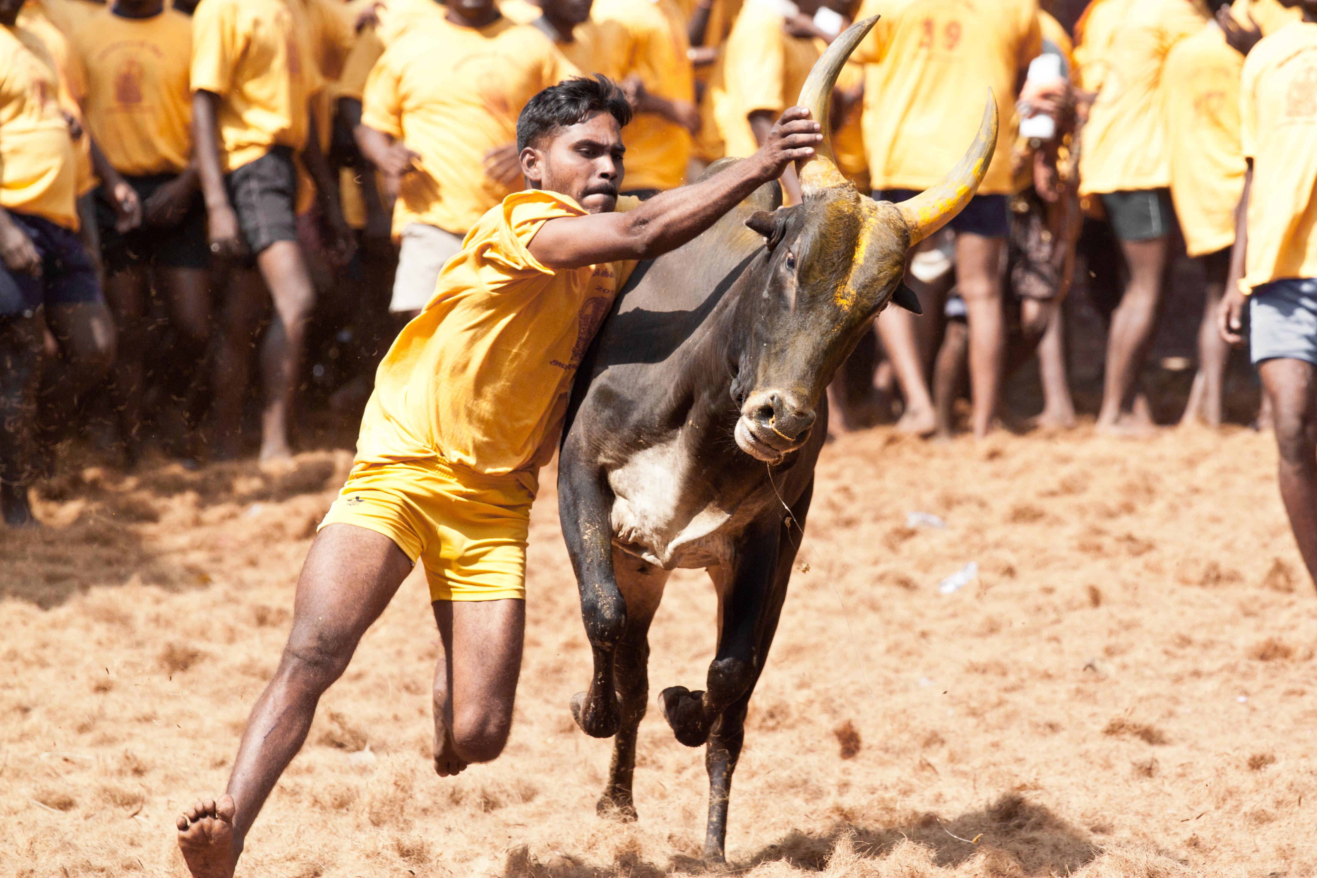 tamil nadu one person dead over 100 injured during jallikattu the logical indian