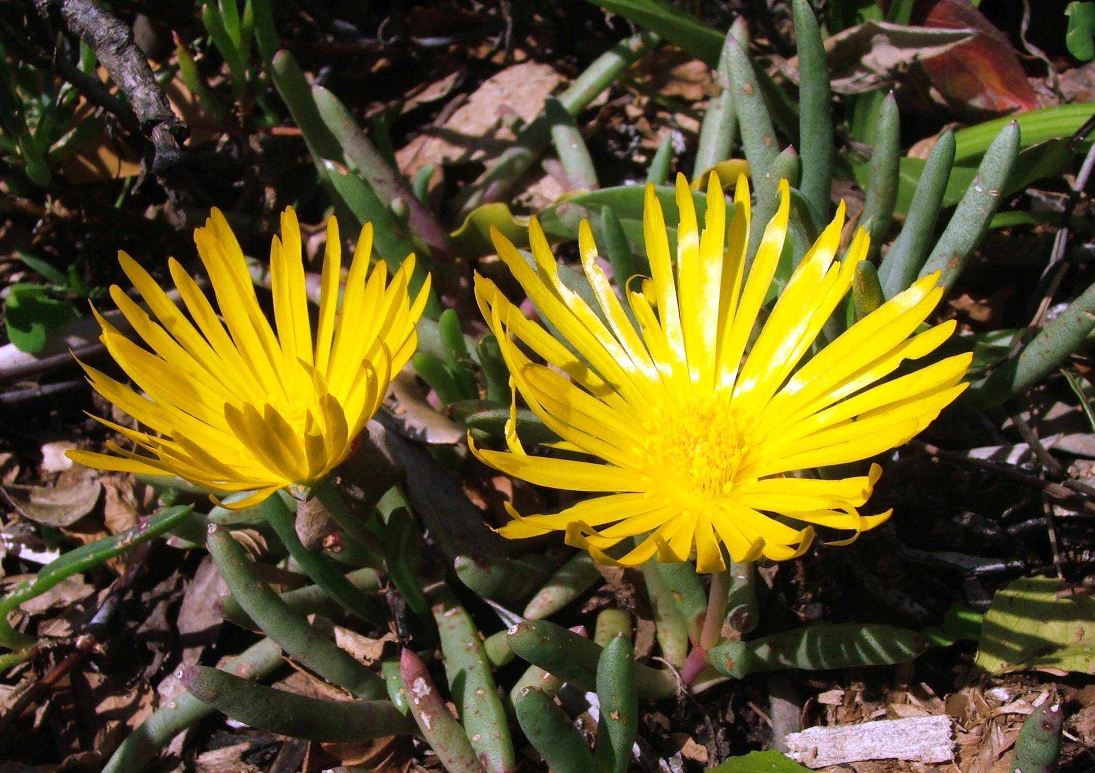 Filejordaaniella Dubia Succulent Groundcover South Africag
