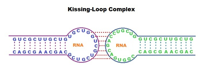 Kissing-loop-interaction