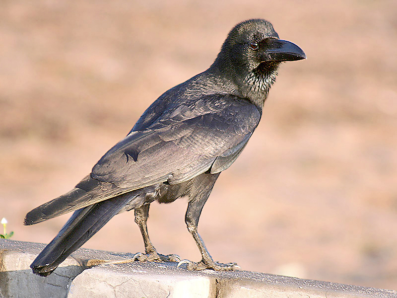 קובץ:Large billed Crow I2 IMG 9148.jpg