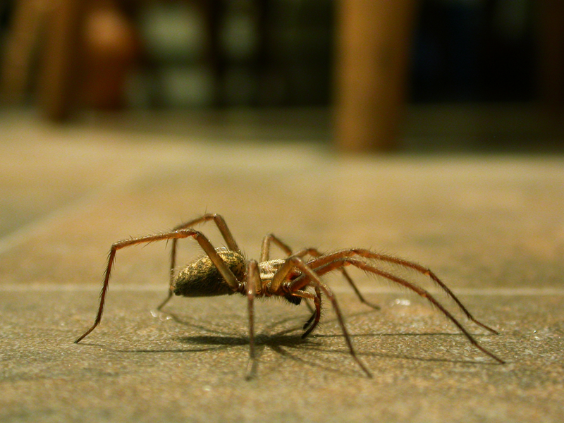 File:Large house spider on kitchen floor - small file.png