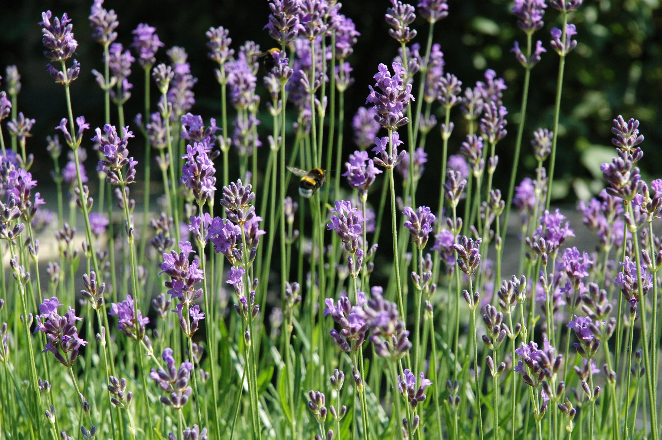 Warum Lavendel beruhigend wirkt