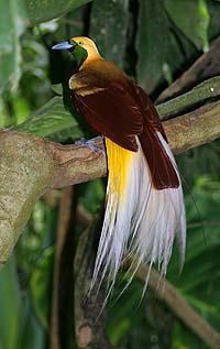 Jantan dewasa Cendrawasih Kuning-kecil,Paradisaea minor