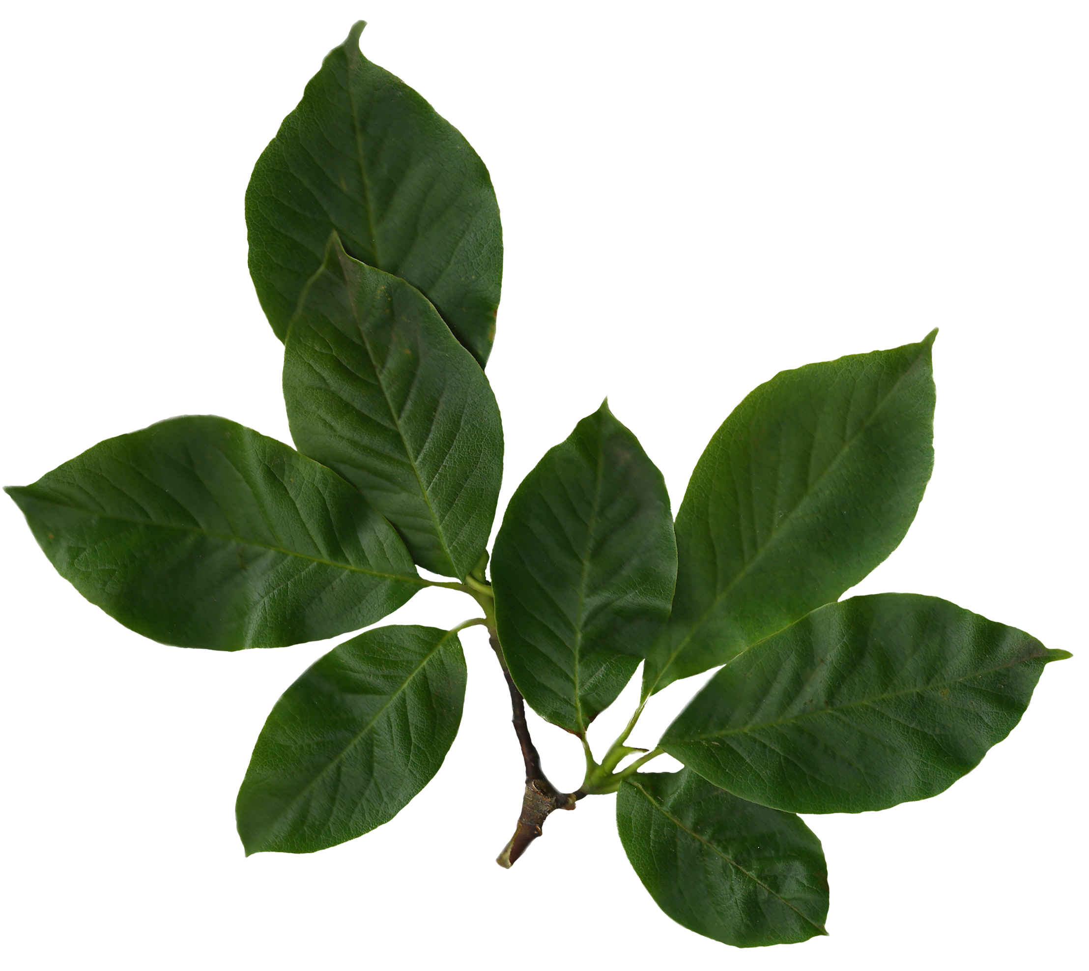 Soft Green File Magnolia Soulangiana Scanned Leaves Png Wikimedia