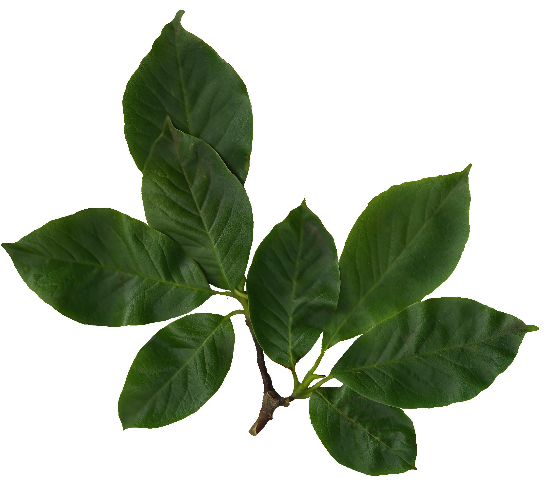 File Magnolia Soulangiana Scanned Leaves Png Wikimedia