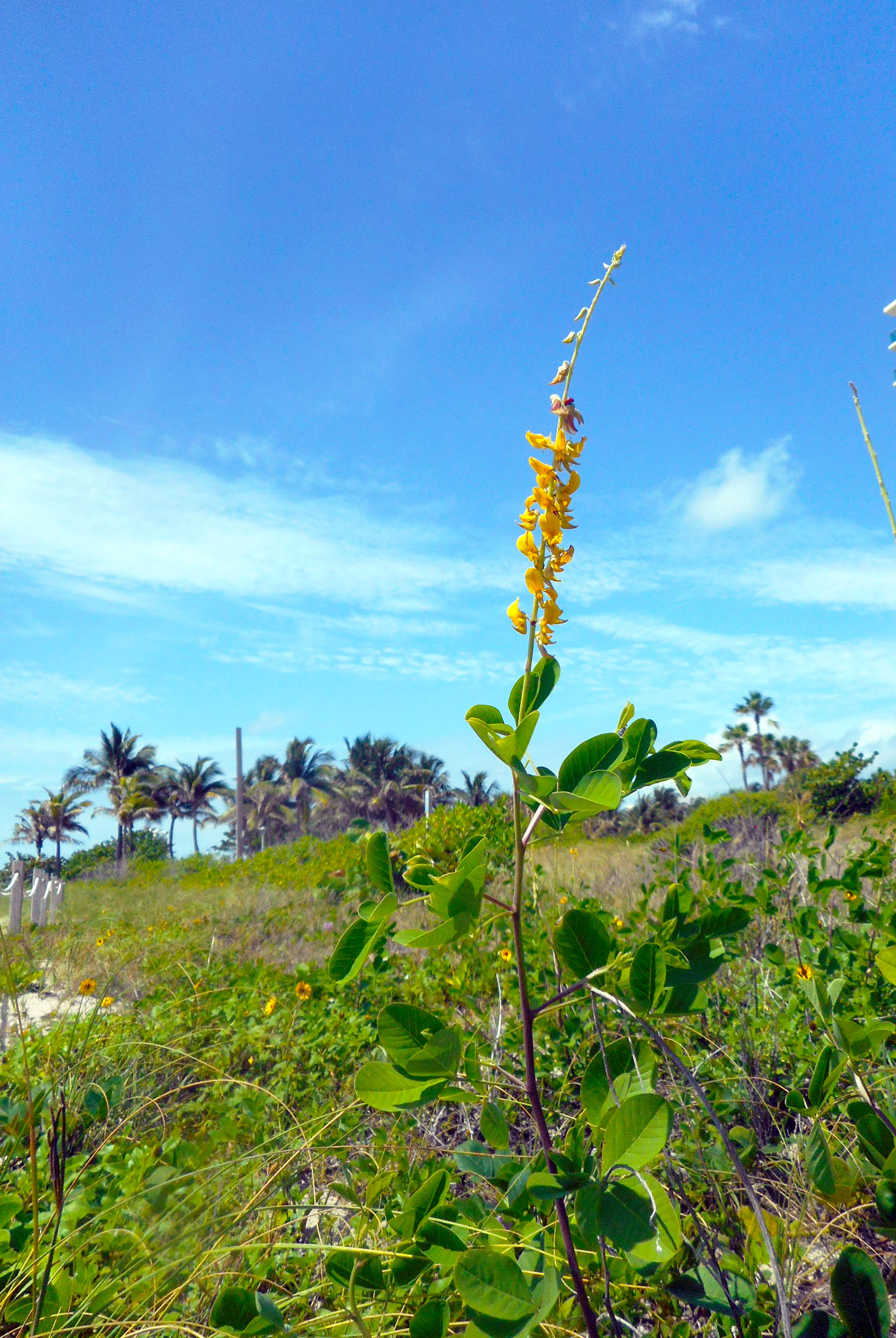 Filemiami beach sand dune flora tall plant with yellow flowers filemiami beach sand dune flora tall plant with yellow flowersg mightylinksfo