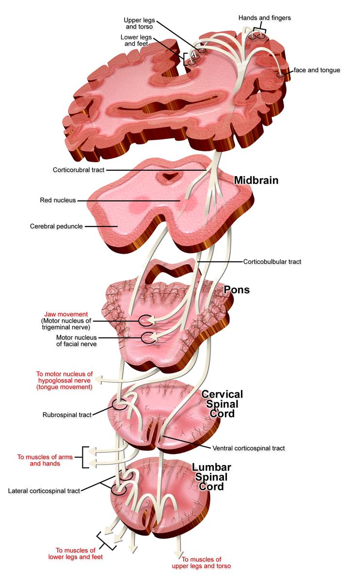 Filemotor Nerve Pathways Descendingg Wikimedia Commons