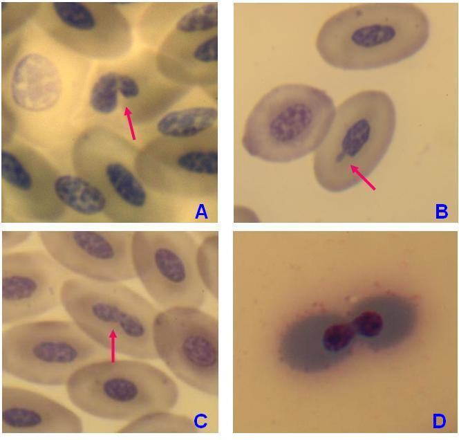 Nuclear abnormalities in peripheral blood erythrocytes of penguins Pygoscelis papua 4.JPG