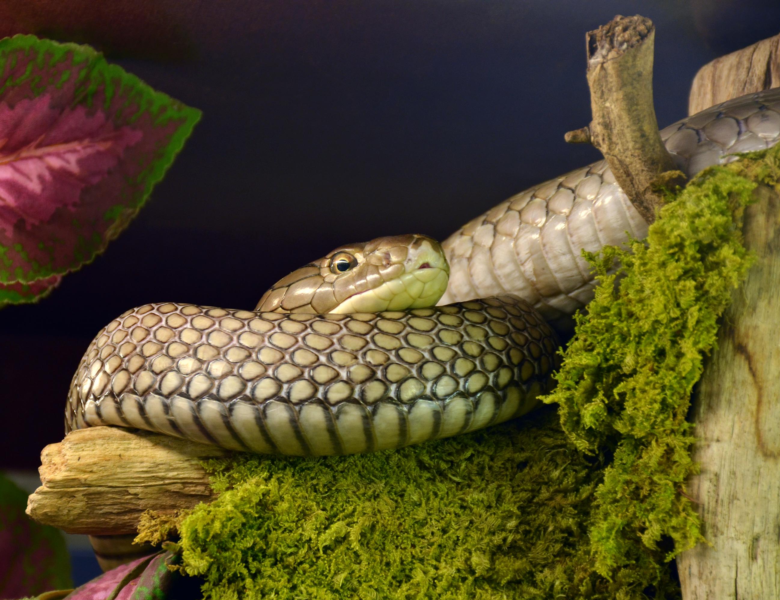 File:Ophiophagus hannah Genève 24102014 1.jpg - Wikimedia