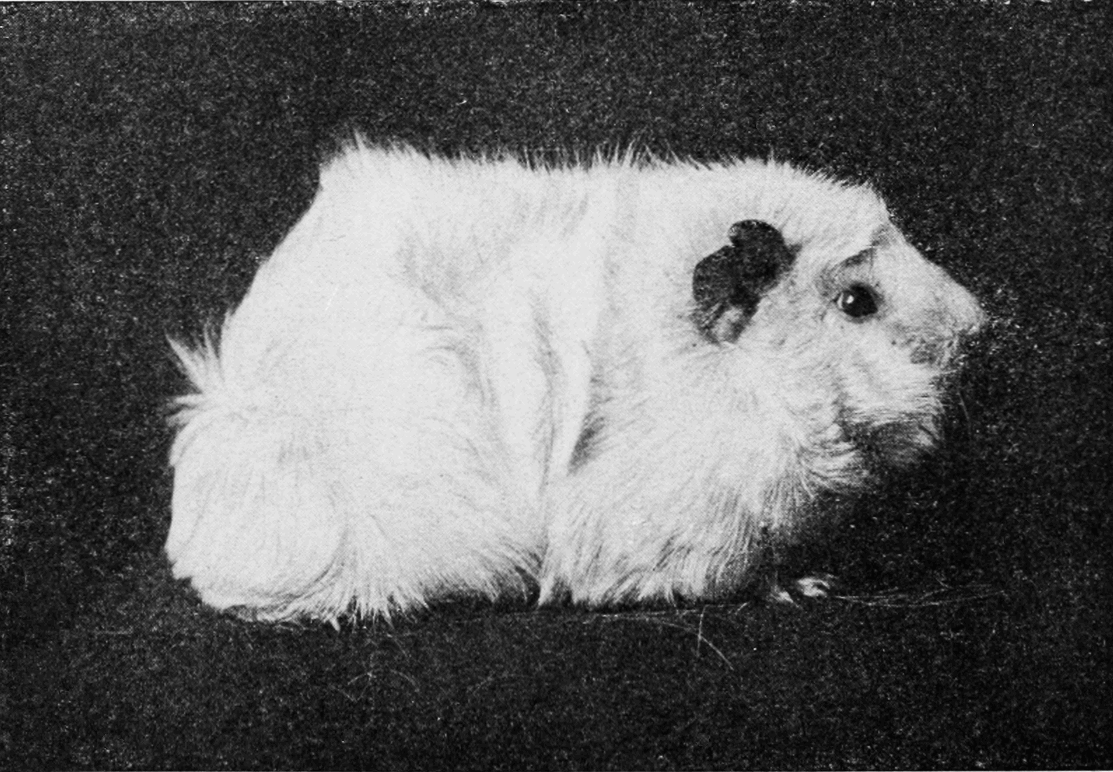 PSM V76 D430 A white rough haired guinea pig.png