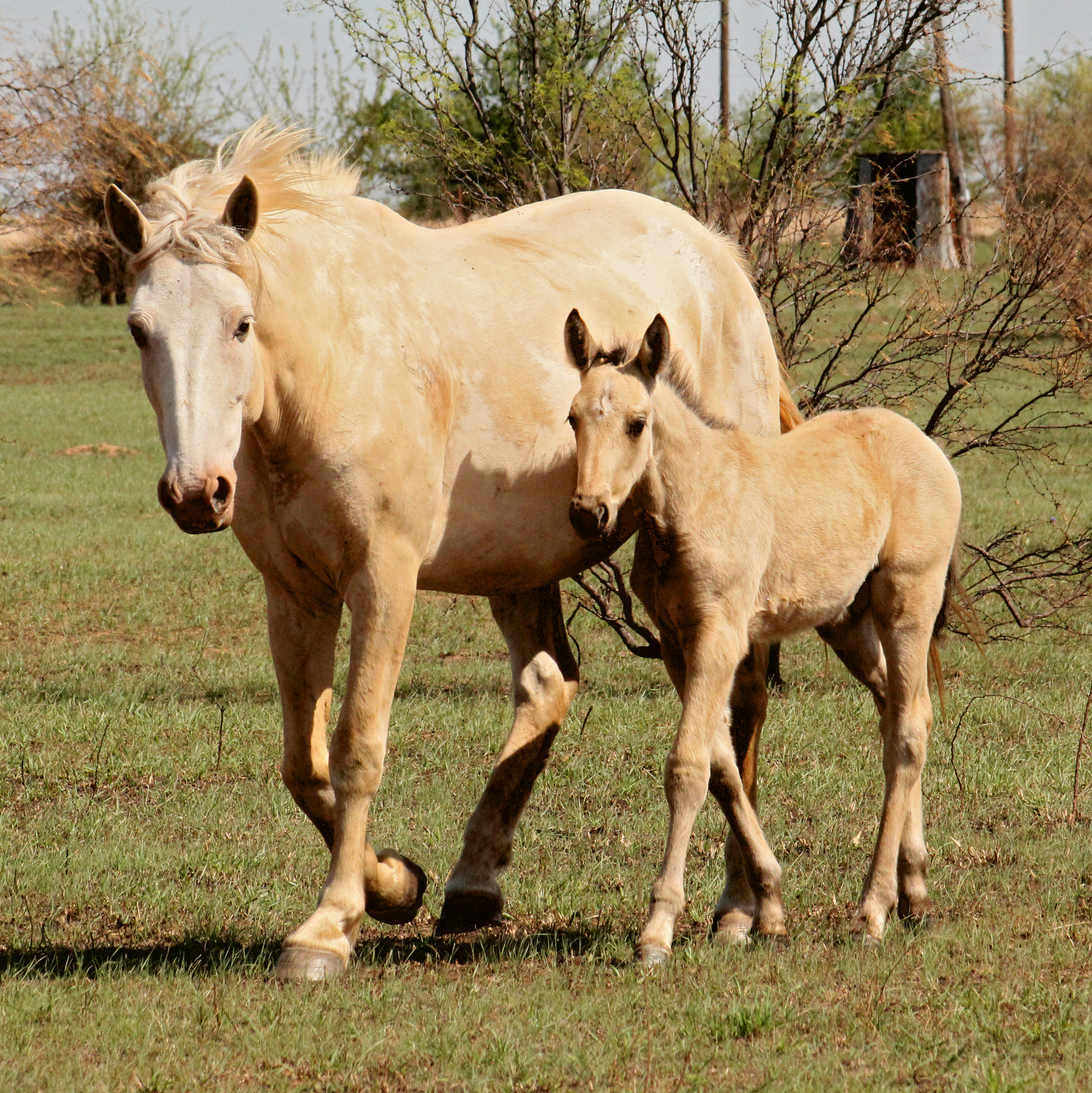 file palomino overo paint mare and foal jpg wikimedia commons