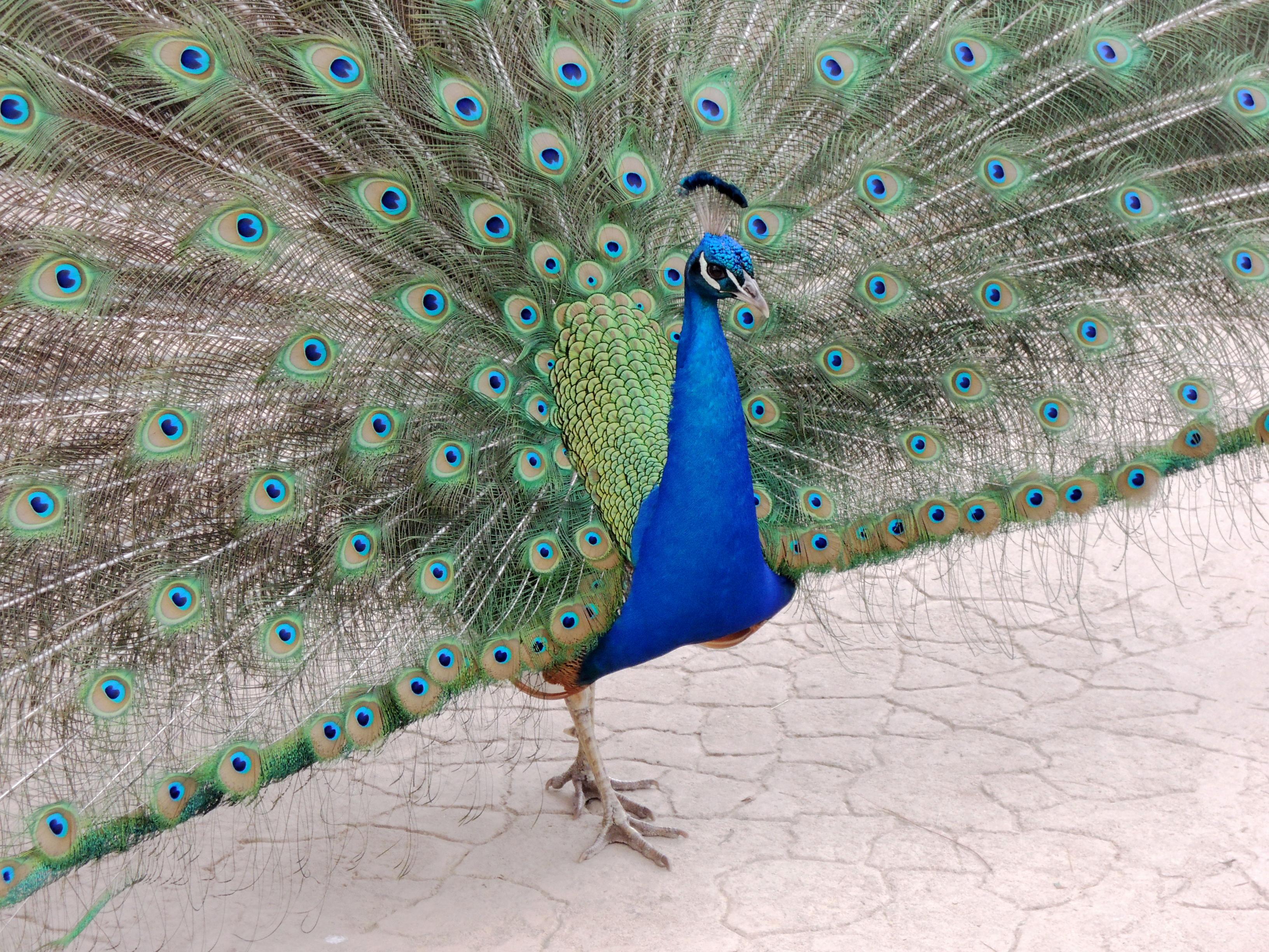 Le Paon Qui Fait La Roue file:paon bleu au zoo de san diego - wikimedia commons