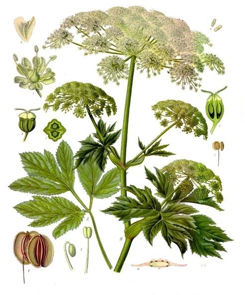 描述 peucedanum ostruthium köhler s medizinal pflanzen 236