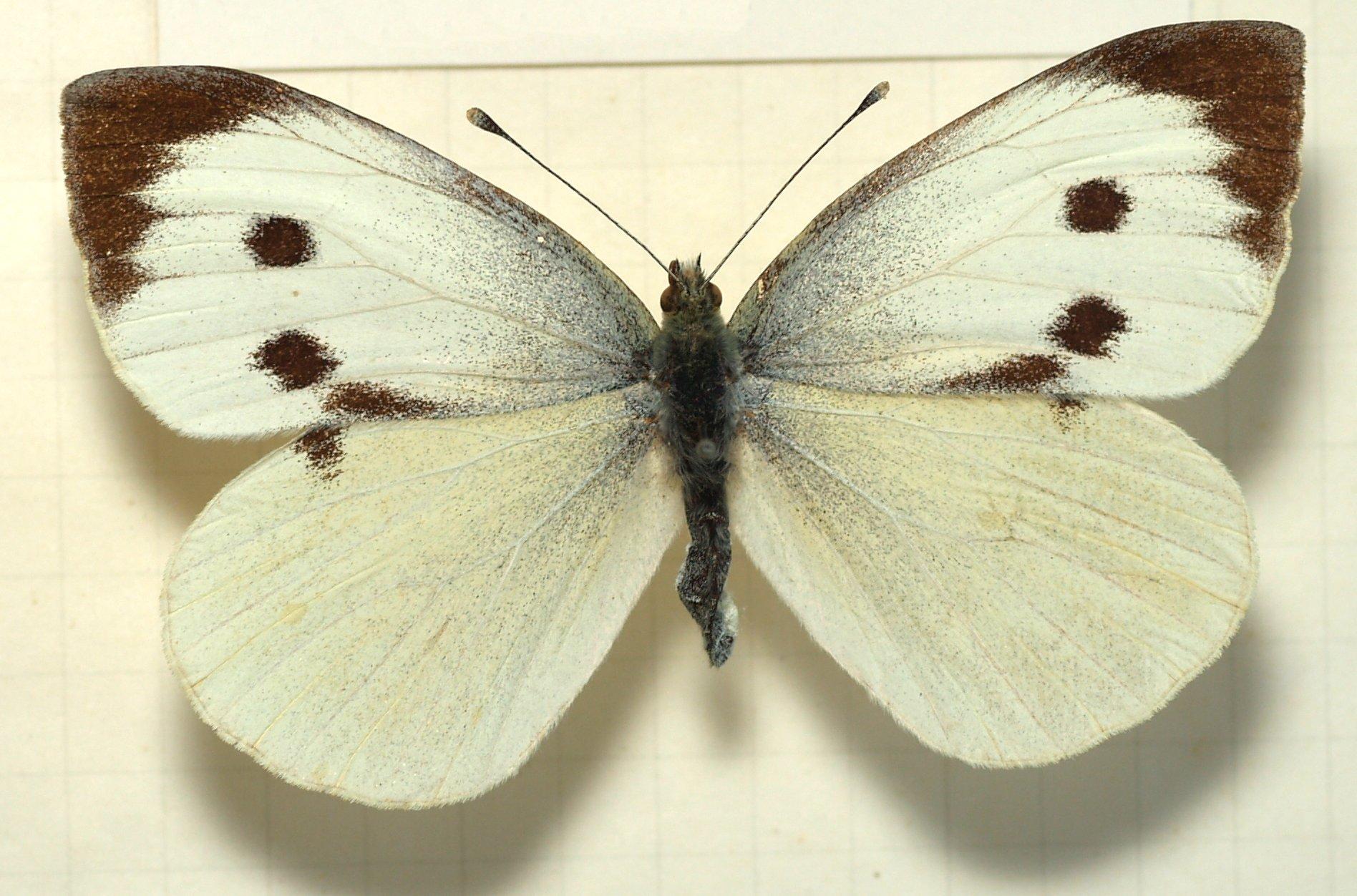 Широко распространены в океании и индонезии