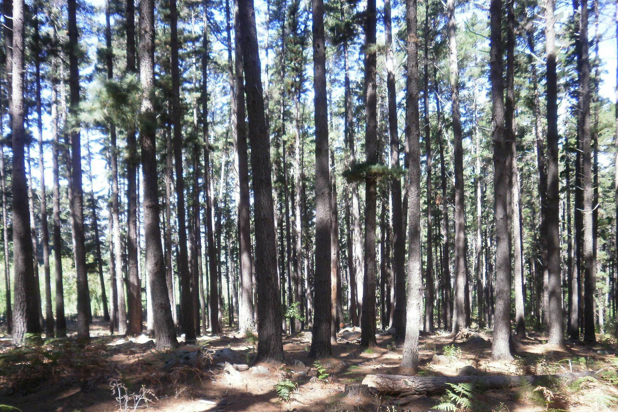 File pine trees planted for timber at newlands forest cape Pine tree timber