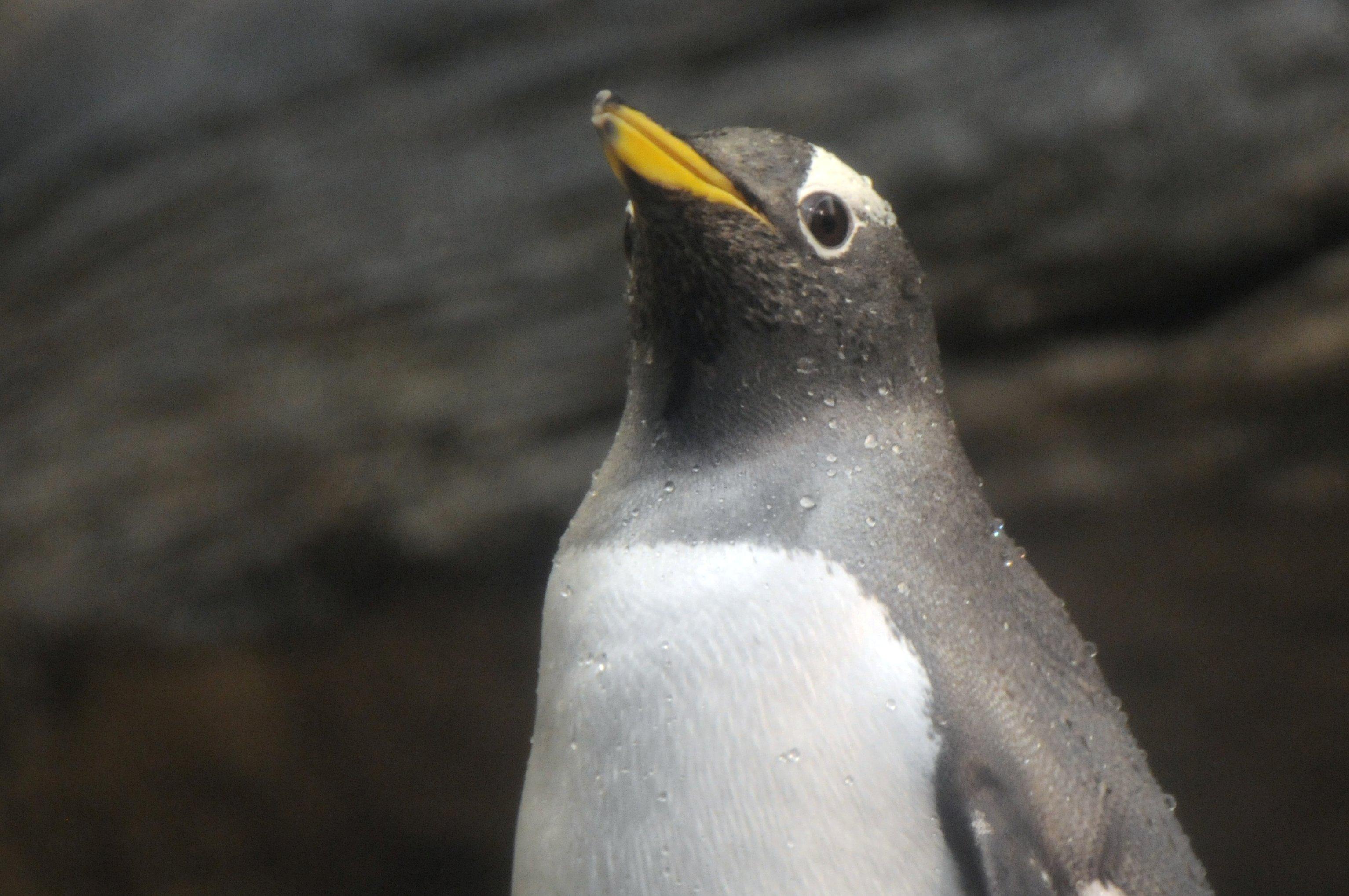 File:Pinguin (3382241175).jpg