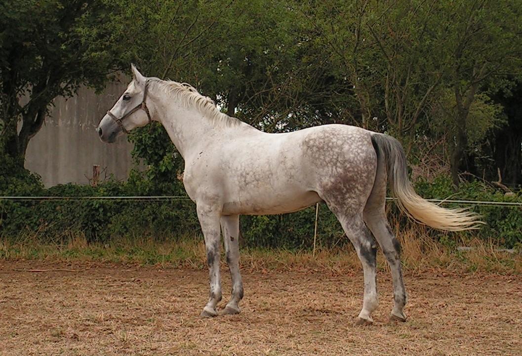 Sport Horse Wikipedia