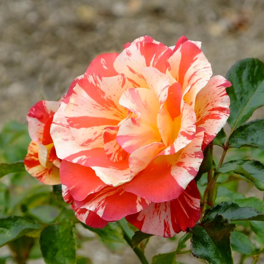 Alfred Sisley (rose) — Wikipédia