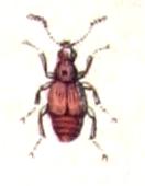 <i>Rybaxis</i> Genus of beetles