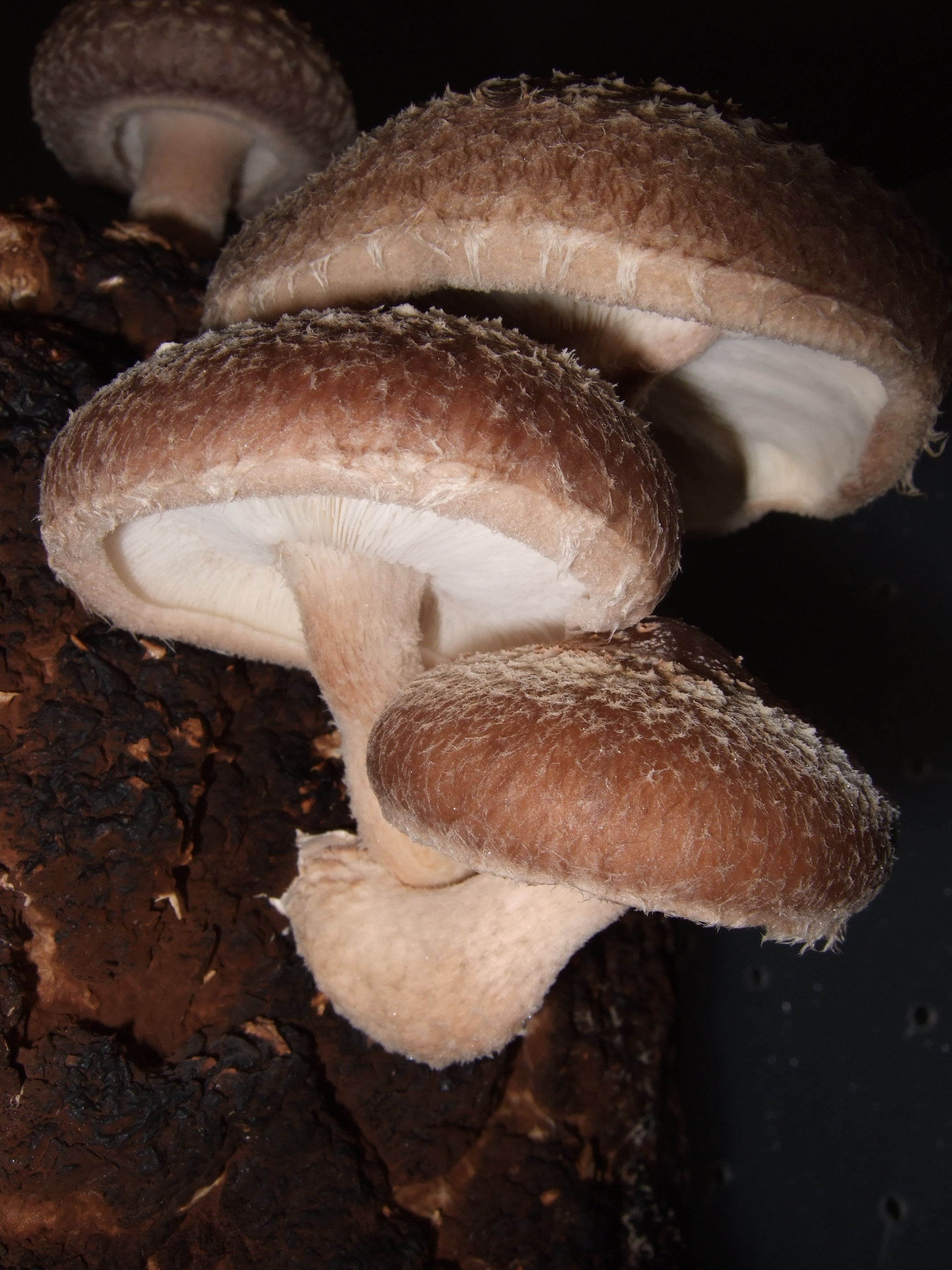 Shiitakegrowing Mushrooms for Lowering Cholesterol