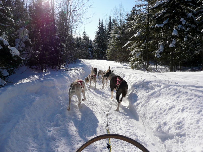 Sled dogs displaying the anatomy of interest. Image courtesy Wikipedia.