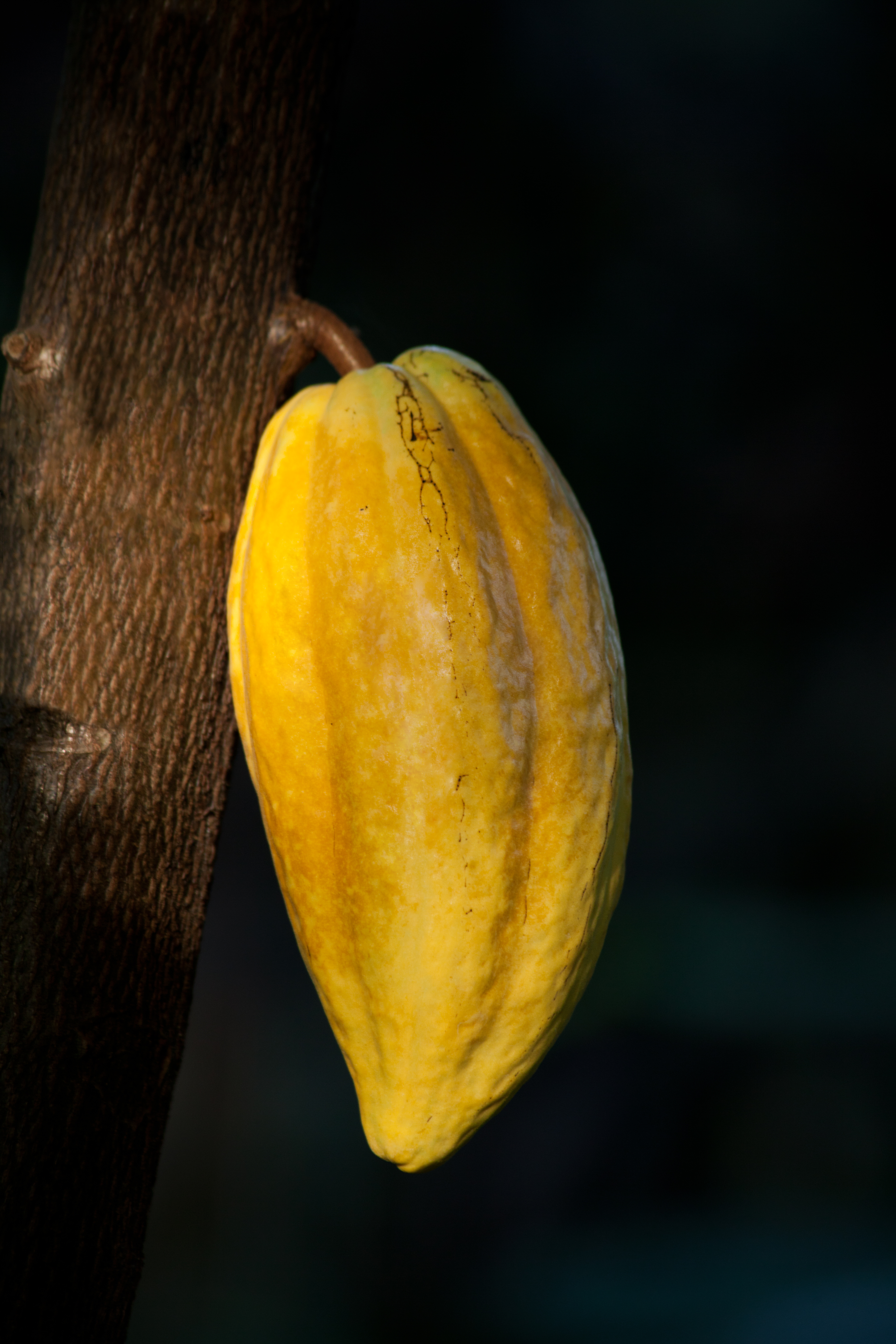 File:Theobroma cacao fruit, Botanical Garden, Hamburg IMG