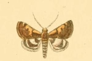 <i>Titanio</i> Genus of moths
