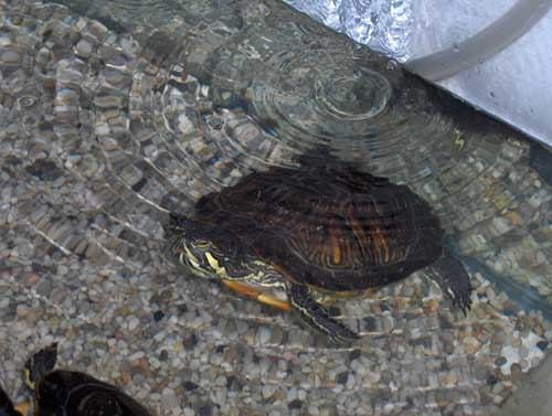 http://upload.wikimedia.org/wikipedia/commons/6/64/Trachemys_scripta_troosti.jpg