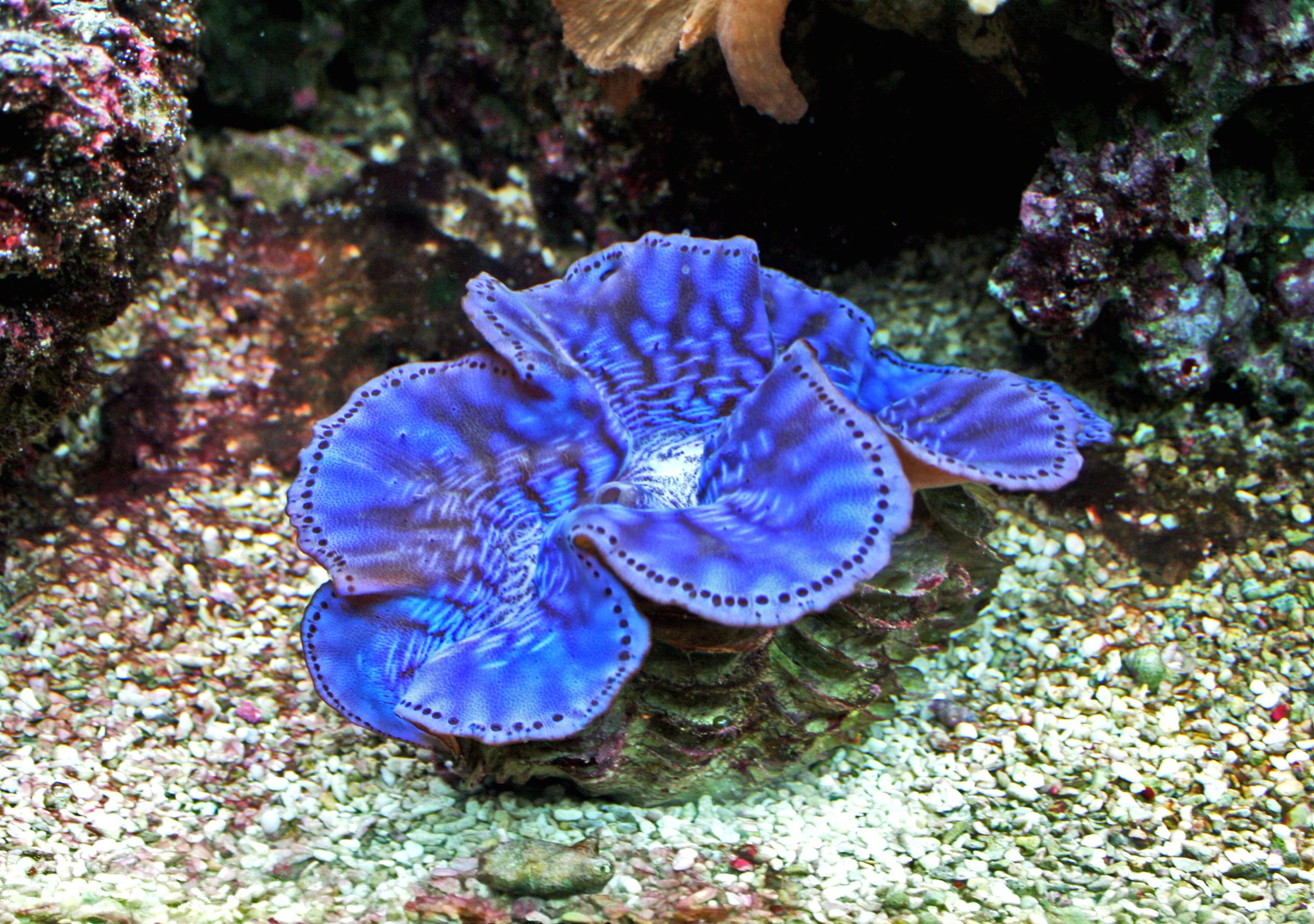 File:Tridacna maxima 1.jpg - Wikimedia Commons
