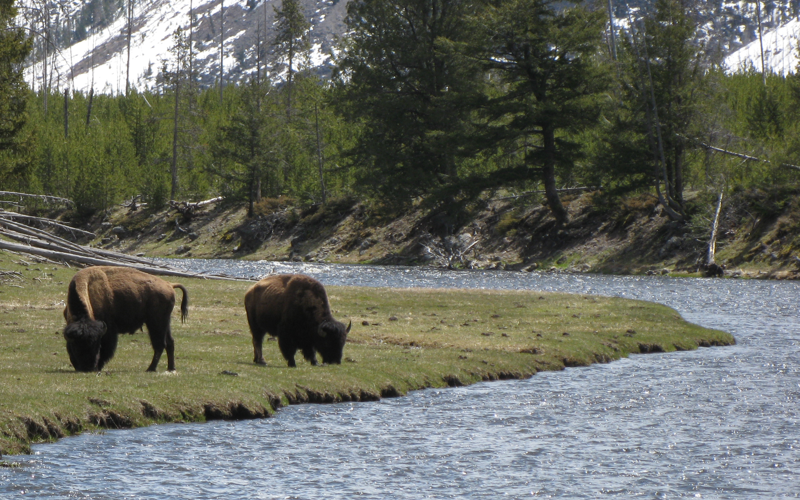 http://upload.wikimedia.org/wikipedia/commons/6/64/Two_bison_riverbend_Yellowstone.jpg