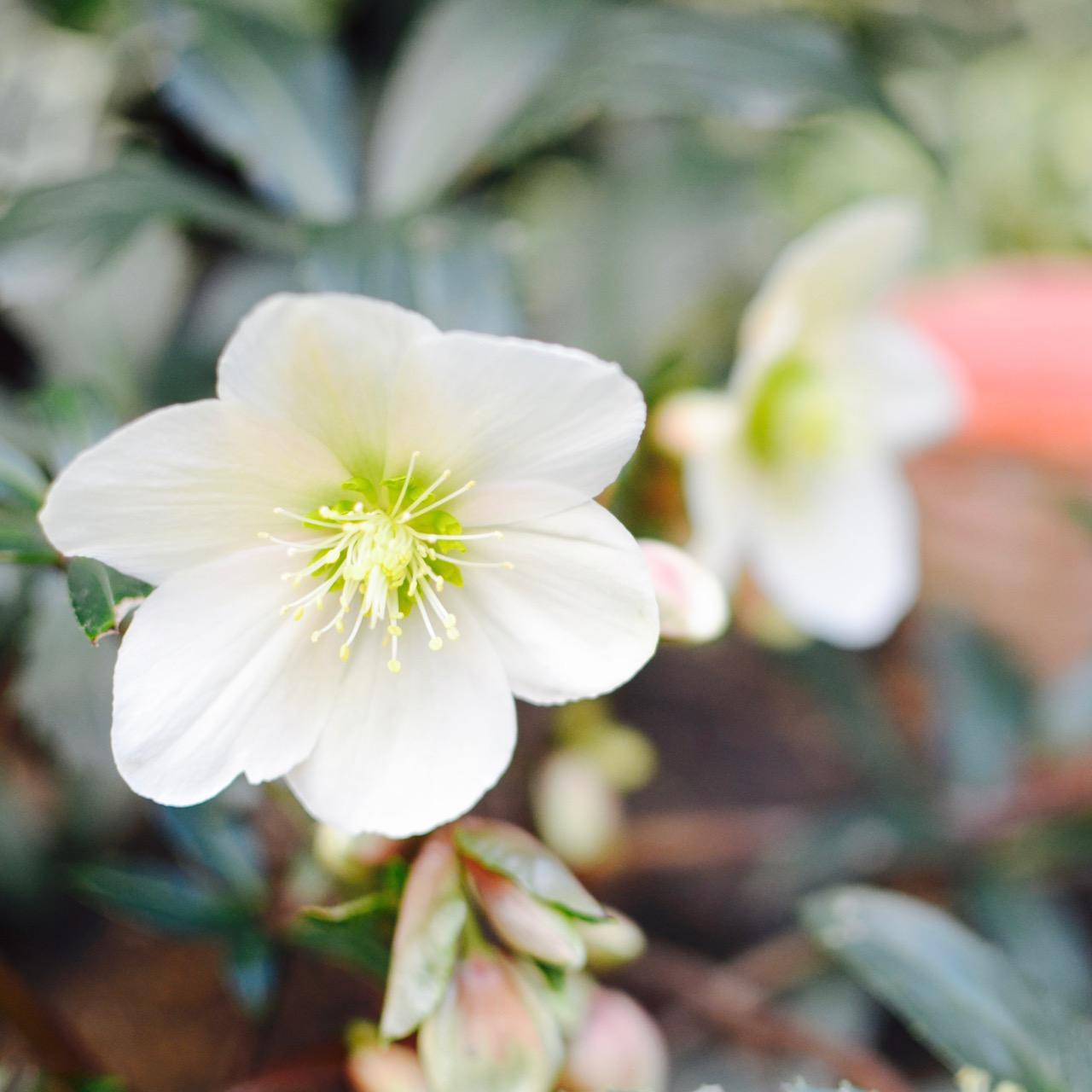 Filewhite Winter Flower Close Upg Wikimedia Commons