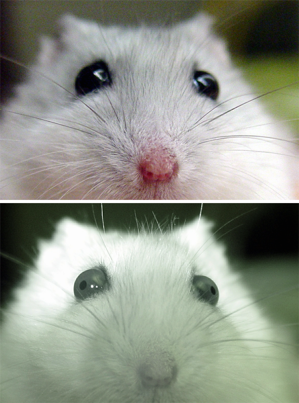 white dwarf hamster with red eyes - photo #38